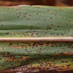 Tar spot symptoms on corn. (Photo by Martin Chilvers, MSU Plant, Soil and Microbial Sciences)