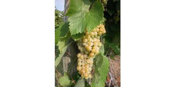 A Traminette grape cluster. (Courtesy photo)