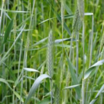 Iowa Learning Farms and Iowa State University Extension and Outreach will host a workshop covering cover crops and grazing cover crops, Wednesday, March 27 from 12-2 p.m. at the McNay Research Farm near Chariton. (Photo by LianeM/stock.adobe.com)