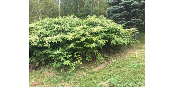 March Weed of the Month: knotweed survey