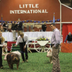 SDSU students participate in the swine show at the 2018 Little International. (Courtesy of SDSU)