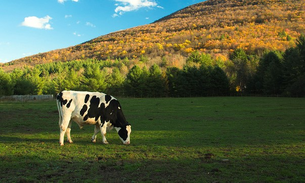 cow dairy (Thomas, Flickr/Creative Commons)