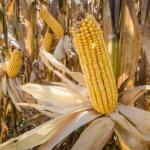 corn (U.S. Department of Agriculture, Public Domain)