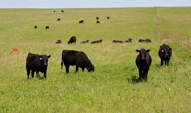 cattle (K-State Research and Extension, Flickr/Creative Commons)