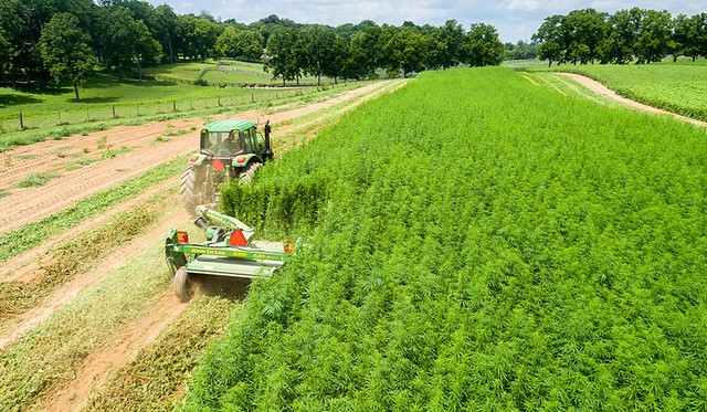 industrial hemp harvest (K-State Research and Extension, Flickr/Creative Commons)
