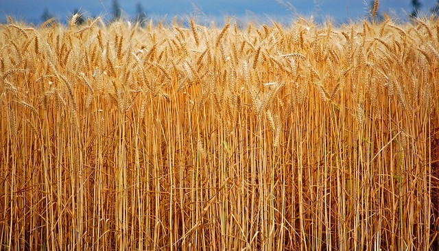wheat (Edmund Garman, Flickr/Creative Commons)