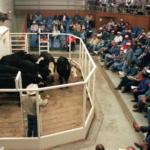 ShowMe Select heifer sale, Callaway County. (Duane Dailey photo)