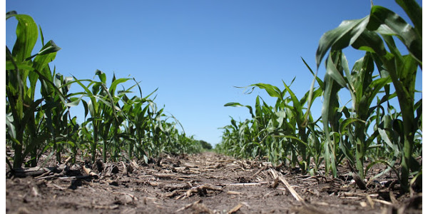 Wet conditions last fall and this spring have limited the number of acres that received nitrogen in preparation for the upcoming growing season. (Courtesy of University of Minnesota Extension)