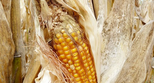 The next weapon against corn aflatoxin