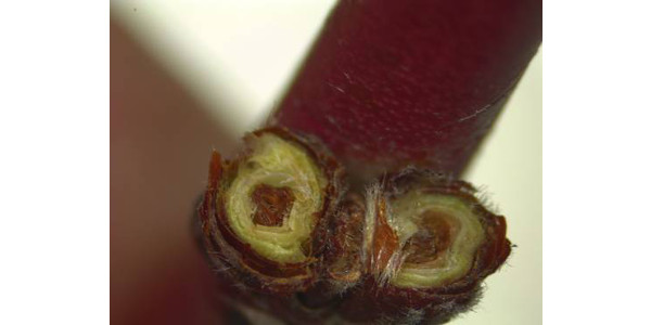 Photo 1. Peach buds cut in cross section show dark brown center that indicates they are dead due to mid-winter low temperatures. (All photos by Bill Shane, MSU Extension)