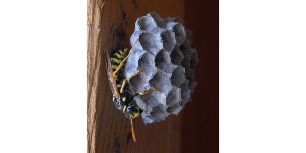 European Paper Wasp. (Courtesy of Carol O'Meara)