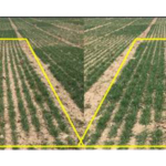 Figure 1. Winter wheat tillering as affected by traditional management (no additional inputs other than base nitrogen rate) pictured on the left compared to addition of autumn starter to traditional management pictured on the right. Picture taken as Feekes 5 growth stage. (Courtesy of MSU Extension)
