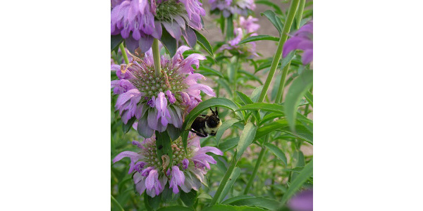 Bee balm, Monarda, is very attractive to bees, butterflies and hummingbirds. (photo by Laura Irish)