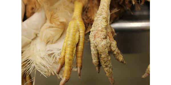 Normal chicken foot (left) and foot affected by scaly leg mite (right). (Photo by Yuko Sato)
