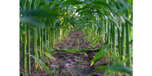 Nitrogen supply and recovery are critical components within overall nitrogen strategies that address the economic, social and environmental concerns regarding nutrient management. (Courtesy of MSU Extension and Outreach)