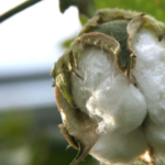 Cotton is the among the crops CSU biologists will use to study plants' genome duplicating histories. (Courtesy of CSU)