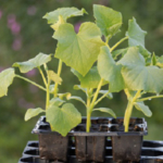 Select strong, healthy plants and harden them outdoors for a few days prior to planting. (Courtesy of ISU Extension and Outreach)