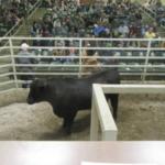A $3900 bull sold by Blue Mound Angus to John Branham, Stella awaits the final bid. (Photo credit: MU Extension)