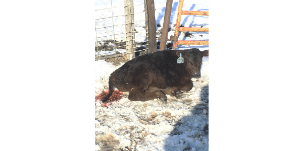 Blood in the feces is one symptom in a calf with coccidiosis. (NDSU photo)