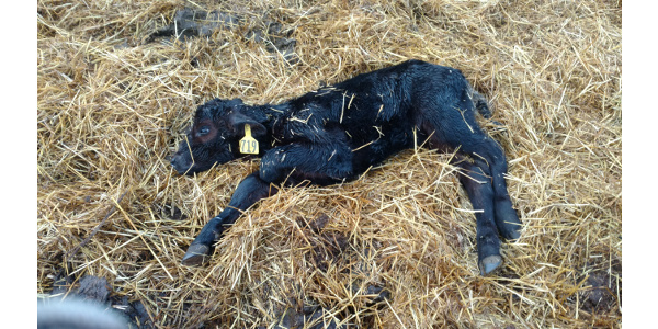 Scours can affect calves at any age, but those 3 to 16 days old are especially susceptible. (NDSU photo)