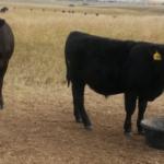 Cow and calf at mineral tub. (NDSU Photo)