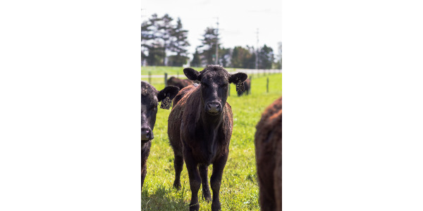 Bovine tuberculosis was recently confirmed in a small beef herd in Alpena County. (Courtesy of Michigan Department of Agriculture)