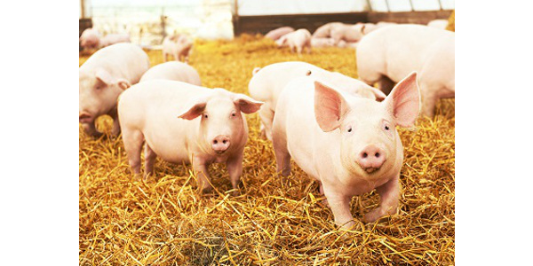 The 2019 Iowa Swine Day will offer pork producers an agenda of expert speakers who will address current issues affecting the industry. (Courtesy of ISU Extension and Outreach)