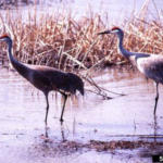 Sandhill cranes. (Photo by Terry L Spivey, Terry Spivey Photography, Bugwood.org)