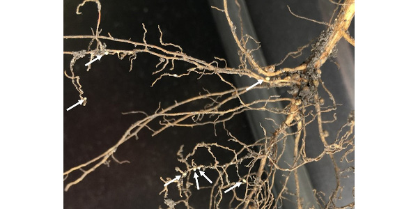 Soybean cyst nematode on soybean roots. Arrows point to cysts (swollen female nematodes filled with eggs). (Courtesy of University of Minnesota Extension)
