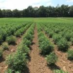 HempLogic™, America's largest vertically-integrated hemp company, announced today the availability of over 20 million high CBD hemp clones, 30 million high CBD seedlings and 200 million high CBD planting seeds for the 2019 growing season. (Courtesy of HempLogic)