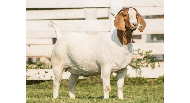 Reward offered for information on stolen goats
