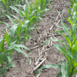 The corn nitrogen guidelines recommended by the University of Minnesota have recently been updated to include data from 2017 and 2018. (Courtesy of University of Minnesota Extension)