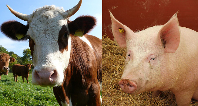 Reports released on antimicrobial use in beef, swine