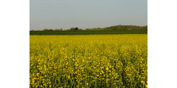 K-State Research and Extension will host three canola field days in late May. (Courtesy of K-State Research and Extension)