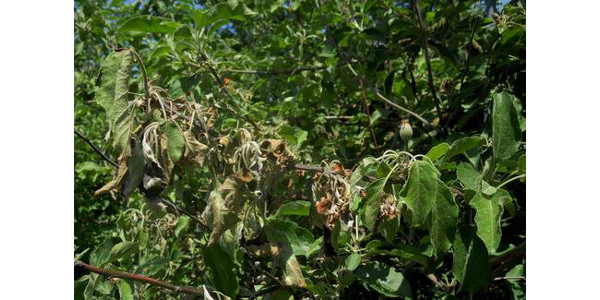 Multiple flower clusters have collapsed from fire blight on this shoot. (Photo by Mark Longstroth, Michigan State University Extension)