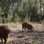 feral swine hog pig wild (U.S. Department of Agriculture, Public Domain)