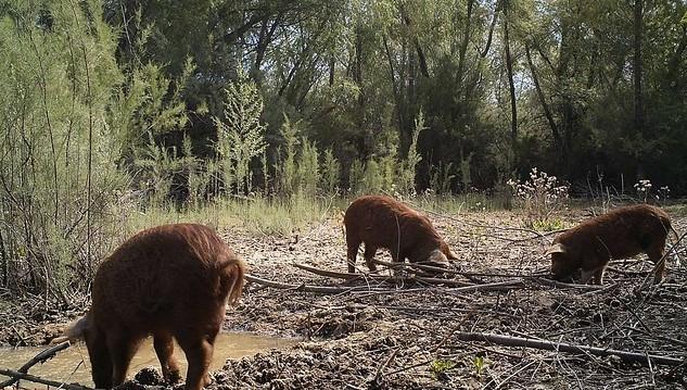 feral swine hog pig wild (U.S. Department of Agriculture, Public Domain)