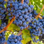 wine grape grapes fruit brando, Flickr/Creative Commons)