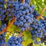 wine grape grapes fruit brando, Flickr/Creative Commons)