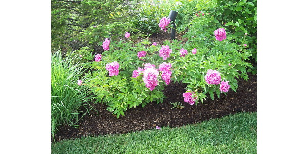 Growing Garden Peonies Morning Ag Clips