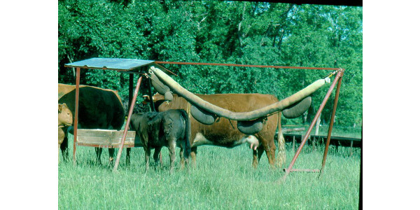 Flies, especially horn flies, are starting to show up in significant numbers in some area beef herds according to Eldon Cole, a field specialist in livestock for University of Missouri Extension. (Courtesy of University of Missouri Extension)