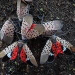 Spotted lanternfly (SLF) is an invasive planthopper that can feed on a wide variety of plants including grapevines, hops, maples and fruit trees. (U.S. Department of Agriculture, Public Domain)
