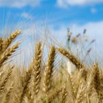 wheat grain (Sleepy Claus, Flickr/Creative Commons)