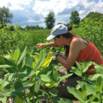 Checking common milkweed for monarch eggs or caterpillars. (Photo by Doug Landis, Michigan State University Entomology)
