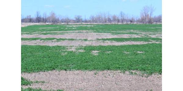 Winter damage in an alfalfa field. (Photo by Philip Kaatz, MSU Extension)