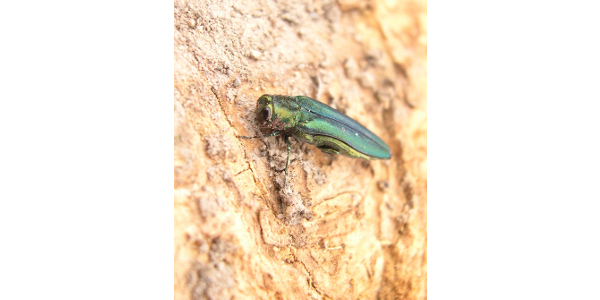 Native to Asia, the emerald ash borer (EAB) only attacks true ash trees (Fraxinus spp.). The larvae feed under the bark, disrupting the movement of water and nutrients and killing the tree within several years. (Courtesy of North Dakota Department of Agriculture)
