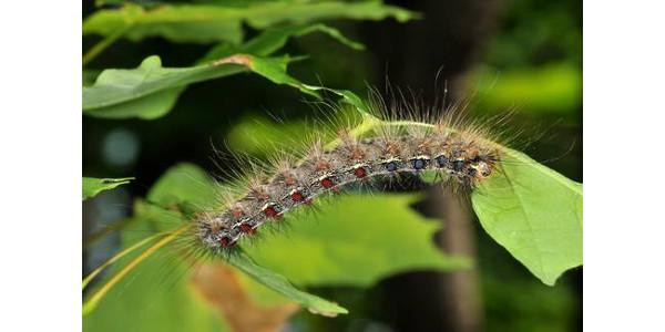Gypsy moth caterpillar feeding on oak leaf. (Photo by Clifford Sadof, Purdue University)