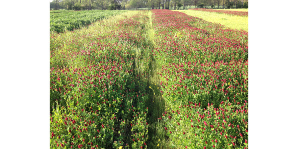 In a trial by The University of Illinois at its Ewing Demonstration Center, Dixie Crimson Clover (left) only contributed 14 pounds of nitrogen in biomass per acre in a trial. Kentucky Pride Crimson Clover (right) contributed 187 pounds of nitrogen in biomass per acre. (Courtesy of Grassland Oregon)