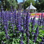 Best of Show – Salvia 'Big Blue' from PanAmerican Seed. (Courtesy of CSU)