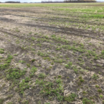 Figure 1. The long winter and spring flooding have taken a toll on alfalfa fields in parts of the state. (Courtesy of University of Minnesota Extension)